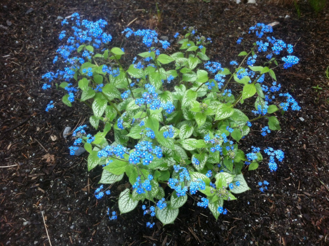 Super Natural Landscapes Perennial Blue Flowers Pemberton Whistler Shade Landscaping