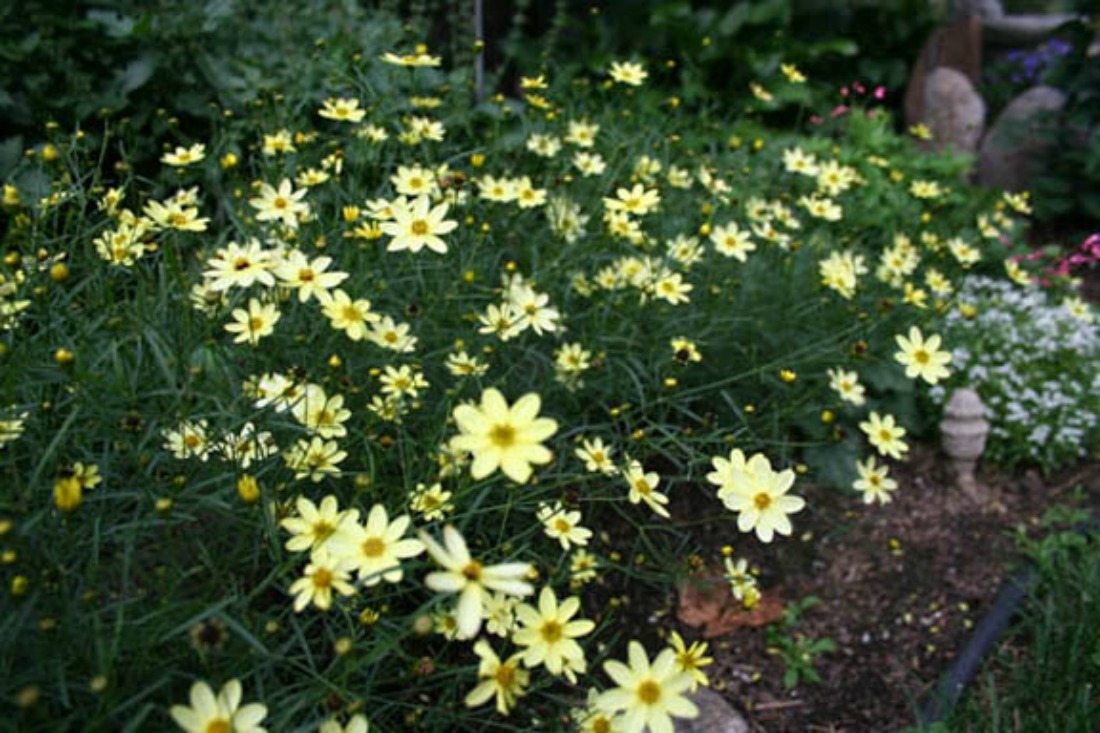 coreopsis moonbeam perennial whistler pemberton super natural landscapes drought tolerant yellow flower
