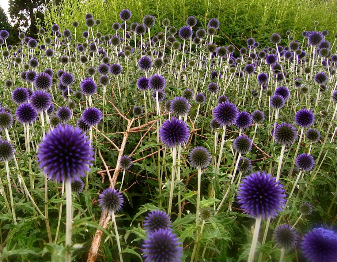 echinops veitches blue globe thistle blue purple flowers perennial cut flower sun super natural landscapes low maintenance whistler pemberton unique