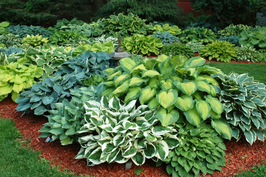 Super Natural Landscapes Hosta Green Perennial Shade Low Maintenance Pemberton Whistler