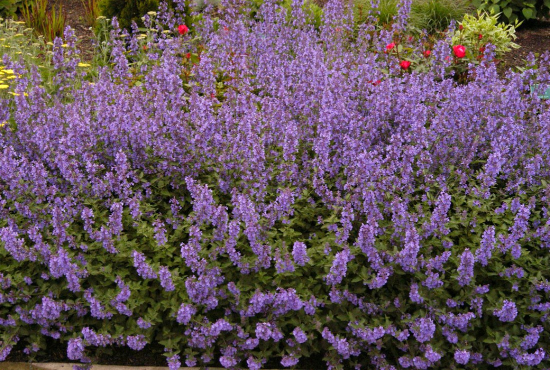 Nepeta-Walkers-Low-Perennial-landscaping-pemberton-whistler