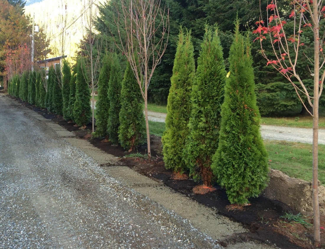 Hedge cedars whistler pemberton screen landscaping super natural landscapes plants trees cedars