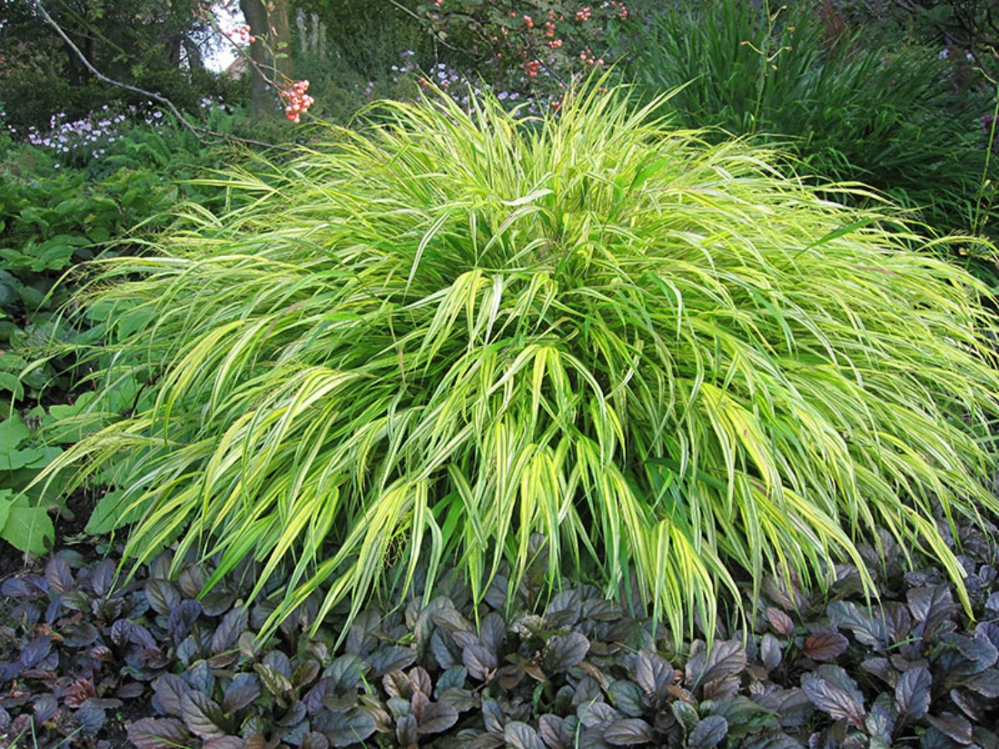 hakonechloa aureola japanese forest grass part shade part sun yellow super natural landscaping whistler pemberton low maintenance