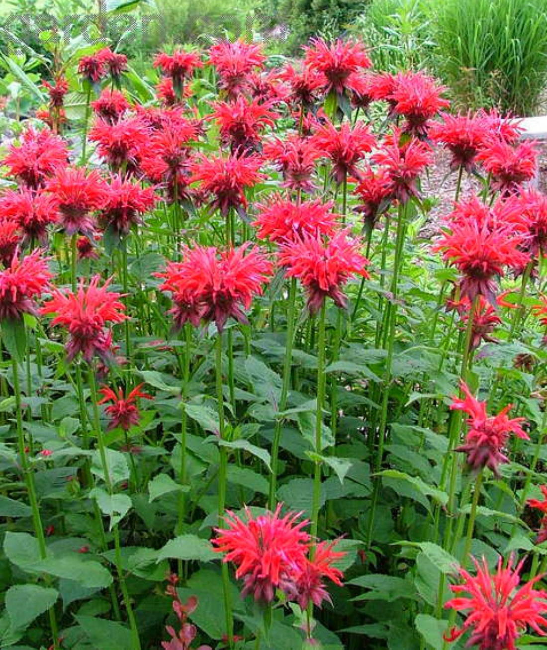 monarda bees balm showy flowers pink red purple perennial pemberton whistler super natural landscaping