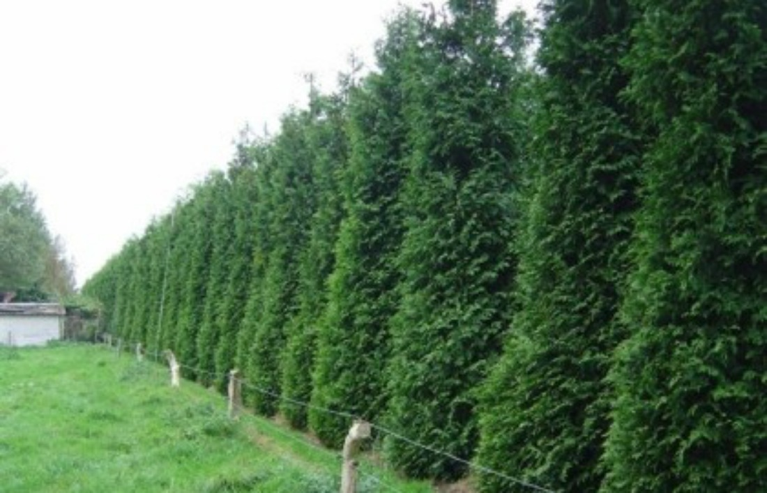 hedge cedar whistler pemberton planting trees super natural landscapes tree plants landscaping