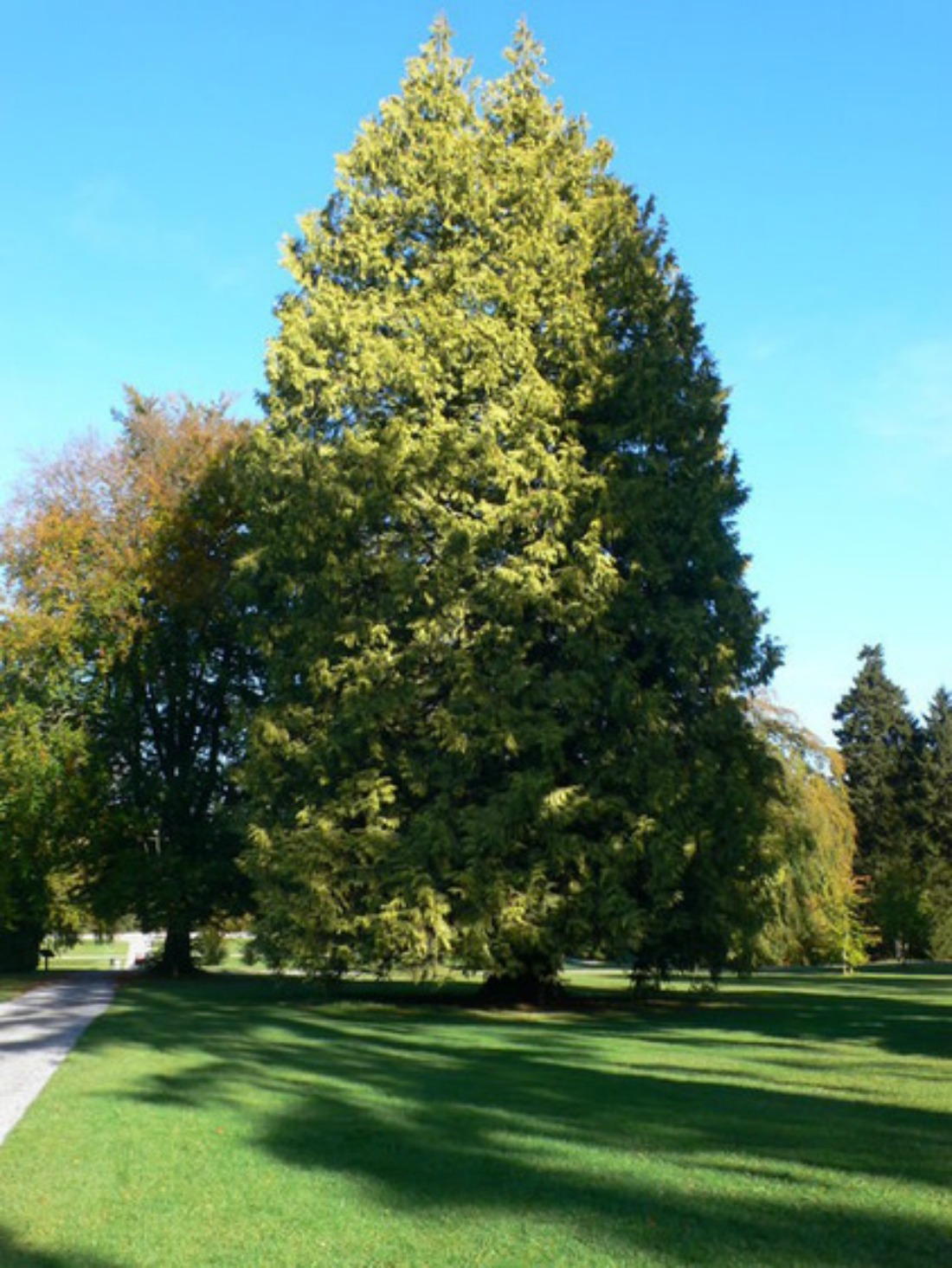 giant cedar tree western red cedar super natural landscapes whistler pemberton trees landscaping