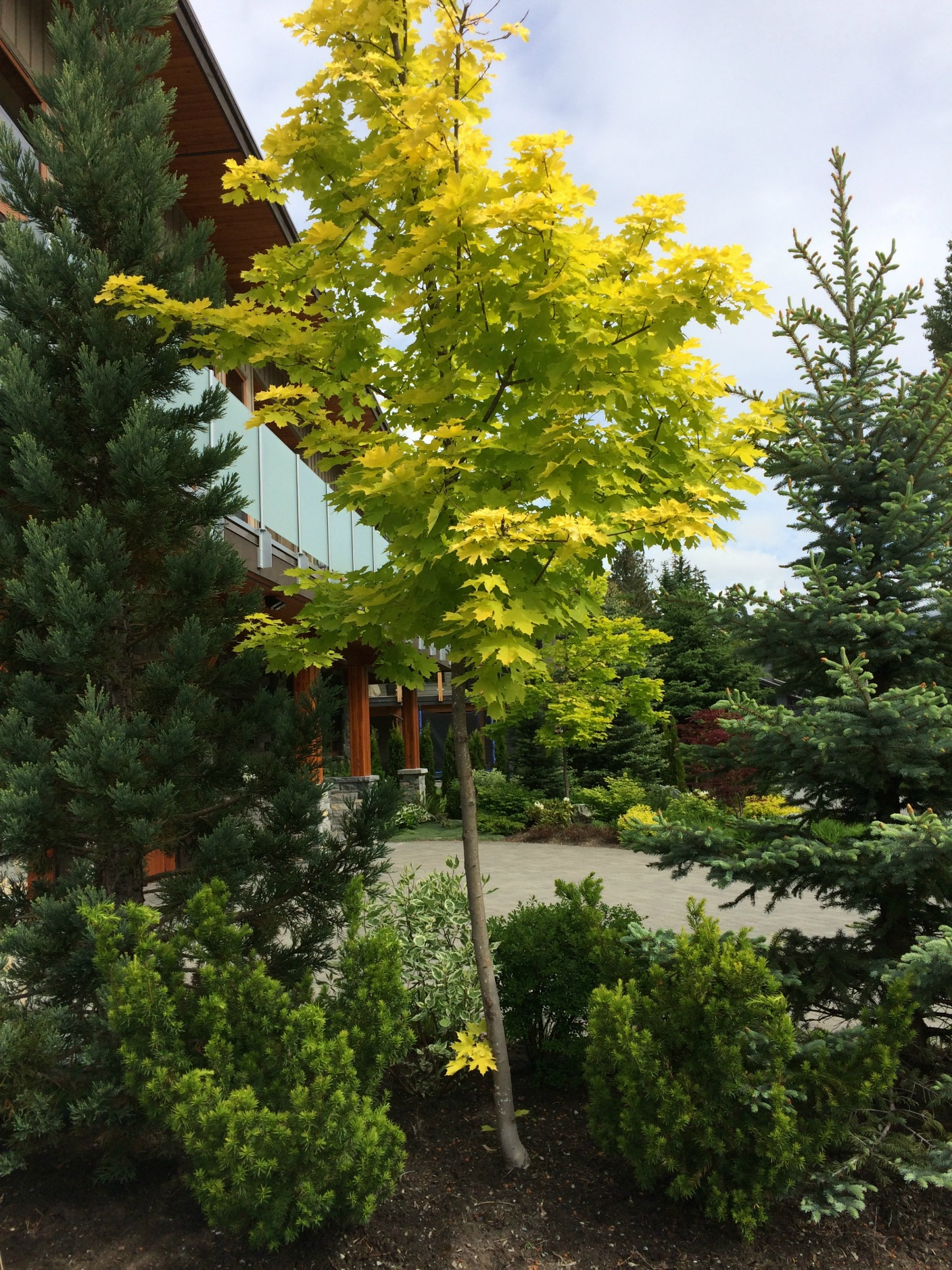 yellow norway maple tree whistler pemberton ornamental tree landscaping