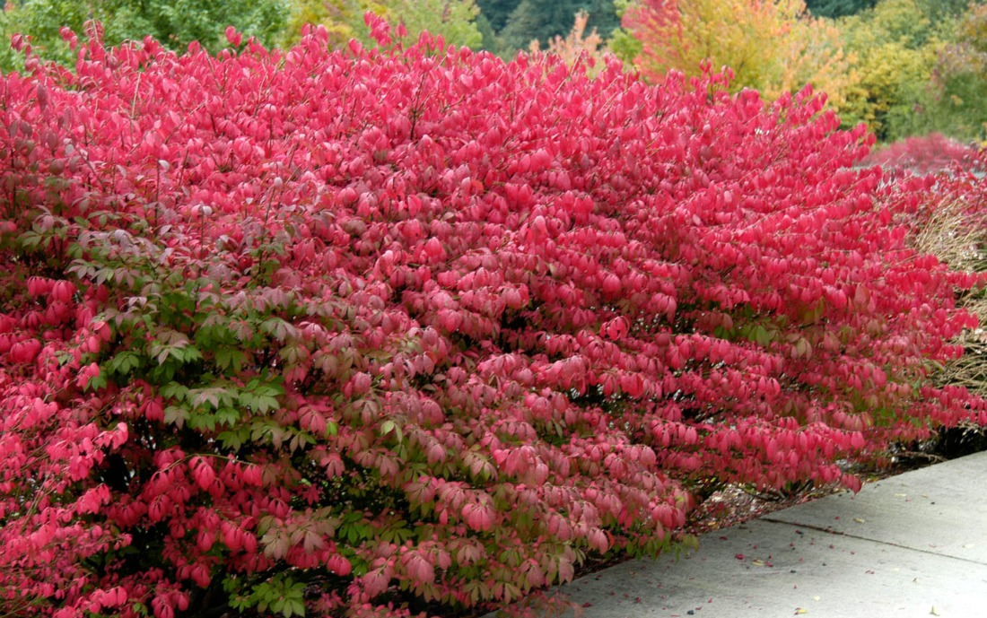 Euonymus-compactus-dwarf-winged-burning-bush-red-shrub-fall-foliage-whistler-pemberton-landscaping-hedge