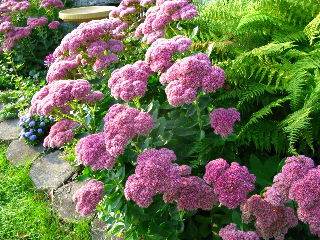 Sedum Autumn Joy Stonecrop perennial sun hardy draught tolerant low maintenance pink flowers interesting foliage late fall bloom Pemberton Whistler Super Natural Landscapes