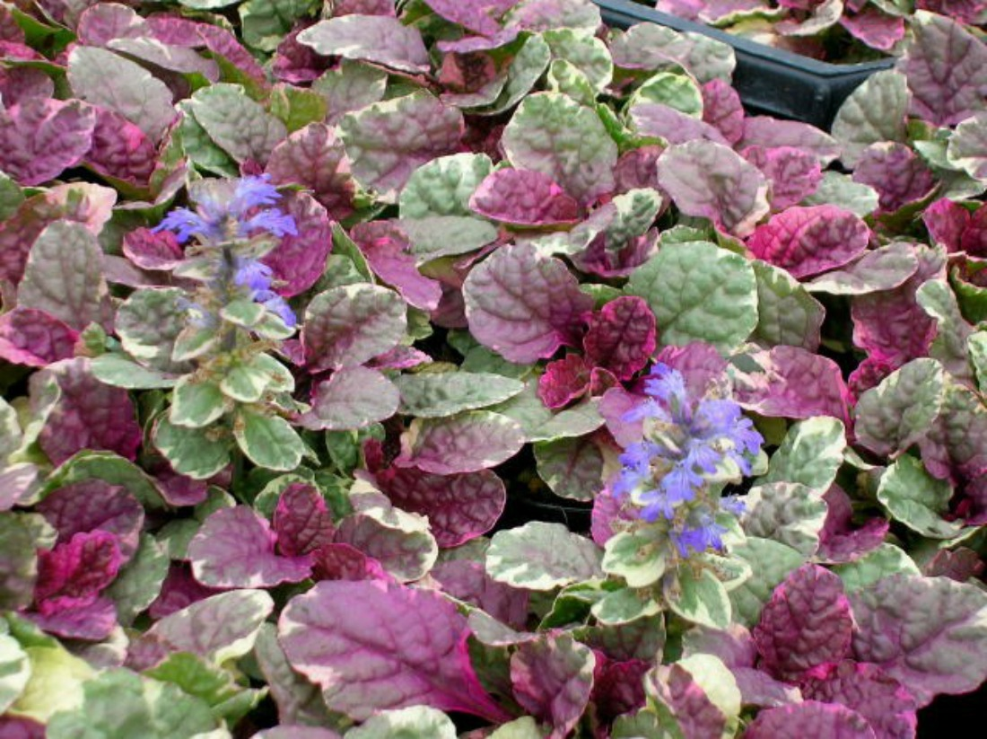 ajuga burgundy glow ground cover part shade full sun low maintenance trip-coloured showy foliage whistler pemberton super natural landscapes purple flowers