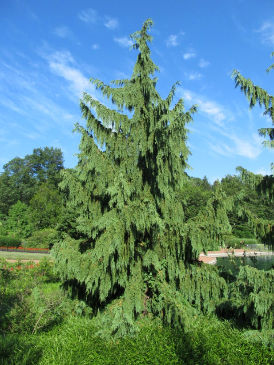 alaskan cedar super natural landscapes whitsler pemberton trees native