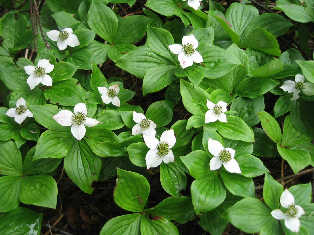 cornus canadensis bunchberry ground cover low growing shrub native species acidic soil whistler pemberton super natural landscapes