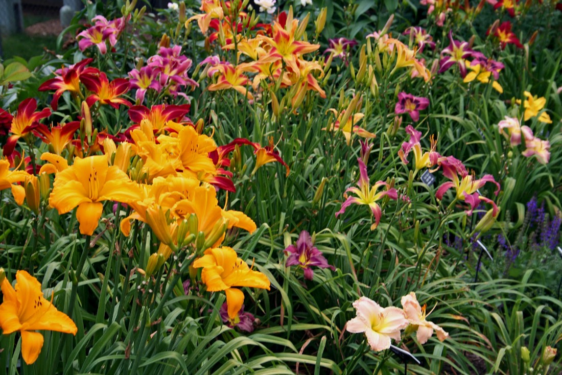 hemerocallis daylily perennial sun pink purple yellow orange white flowers low maintenance sun whistler pemberton super natural landscapes