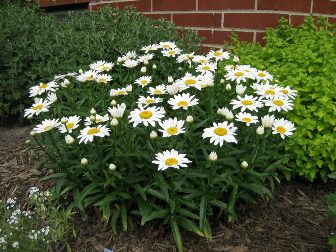 Leucanthemum x superbum Snow Lady shasta daisy white flowers dwarf compact perennial full sun boarder plant whistler pemberton low maintenance draught tolerant super natural landscapes