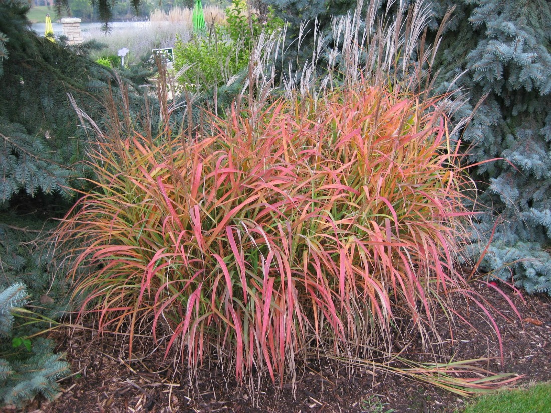 miscanthus purpurascens flame grass ornamental full sun showy fall colours winter interest showy flowers whistler pemberton Super Natural landscapes